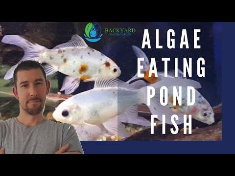 Algae Eating Pond Fish