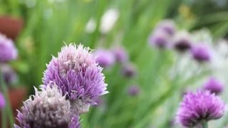 Make a Garden Border out of Chives