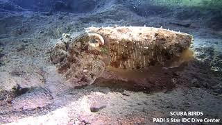 Cuttlefish Koh Tao