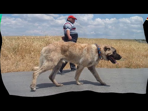 kangal es el perro mas fuerte 2017 youtube. Black Bedroom Furniture Sets. Home Design Ideas