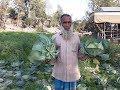 Farm fresh cabbage rolls