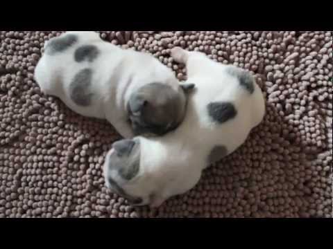 Blue Fawn Pied French Bulldog Female Puppies For Sale