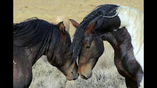 North America's Wild Horses