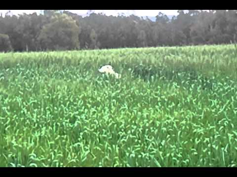 Dogs jumping into tall grass