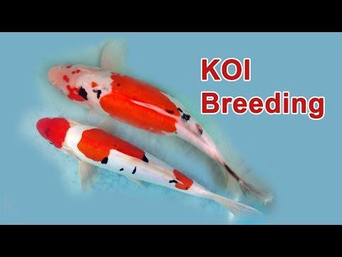 Koi Fish Breeding Part 1
