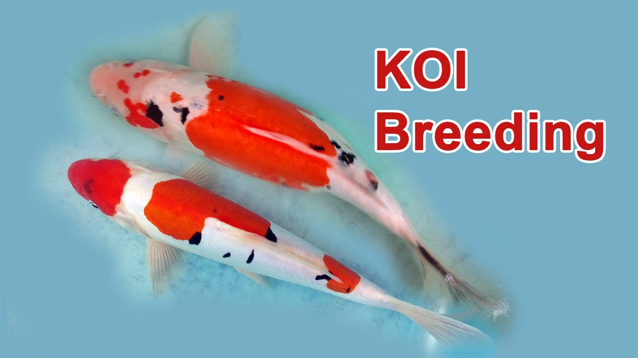 Koi fish breeding part 1 youtube for Koi reproduction