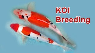 Koi Fish Breeding Part 1