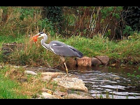 Heron Caught In The Act Eating Fish From Garden Pond