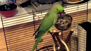 Ожереловый попугай показывает новобранцу кто в доме хозяин) Гриша_жадина