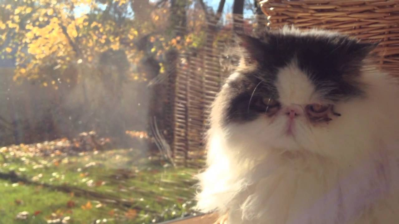 Persian Flat Face Cat Music Video