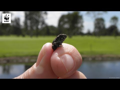 Releasing Cane Toads To Save Our Native Species | WWF-Australia