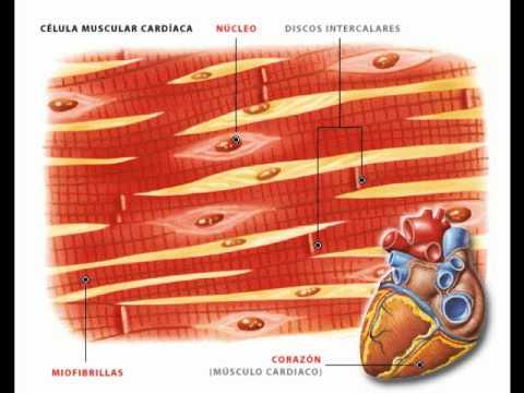 Tejido Muscular y Nervioso. - YouTube
