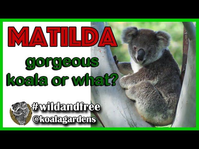 Gorgeous koala - Matilda takes the beauty prize!