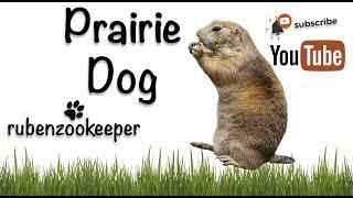 Prairie Dog playing with Chinese Crested #prairiedog #mykids
