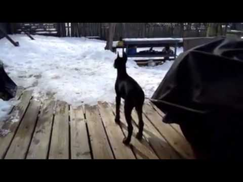 Doberman Pinscher Guard Dog First Bark - Protection Instincts
