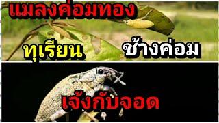 แมลงค่อมทองช้างค่อมตัวร้ายทำลายต้นทุเรียน