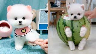 Cute and Funny Pomeranian Videos 130 #Shorts