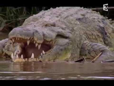 the monster gustave giant crocodile cocodrilo gigante