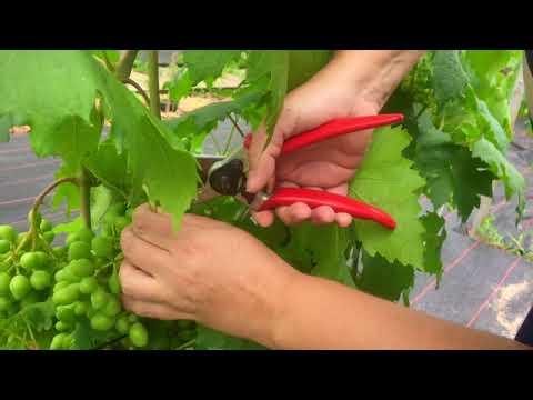 Первое плодоношение винограда на второй год. Сколько гроздей оставить? Нужна ли ранняя чеканка?