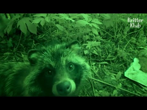 The Secret Of How A Raccoon Dog Family Could Live Under The Floor Is.. (Part 2)   Kritter Klub