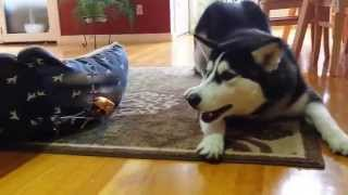 Funny Siberian Husky Vs  Rc Helicopter