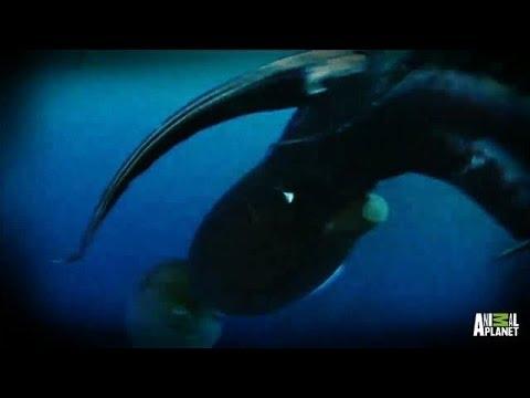 Diver vs. Squid   Man-Eating Super Squid: Monster Invasion