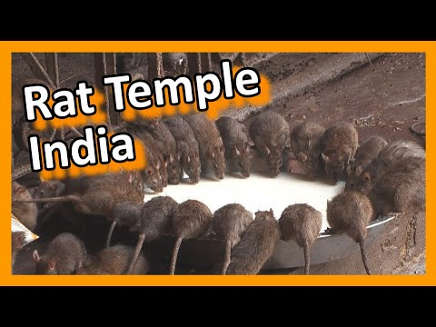 India - Bikaner Karni Mata rat temple