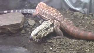 Red Tegu trying to mate with Blue Tegu