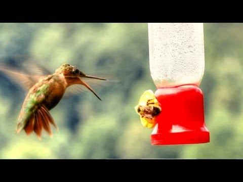 Hummingbird Versus BumbleBee