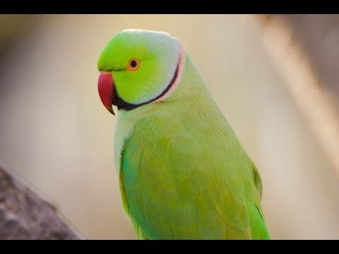 Indian Green Parrot Dancing cute funny parrot disco drone