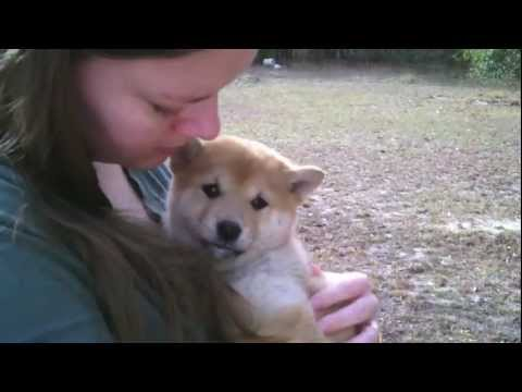 Beautiful red girl Shiba Inu puppies
