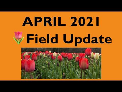 April 2021 Tulip