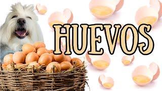 Los PERROS comen HUEVO? PRUEBA ALERGICA, Consumo de CASCARA, Coton de Tulear I Lorentix