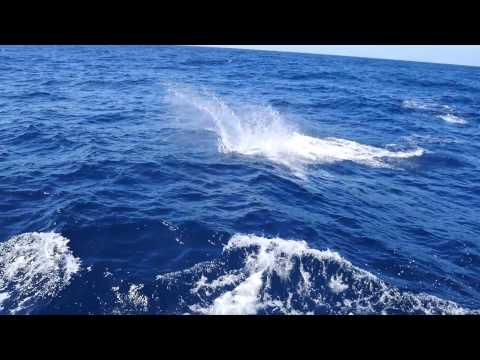 Blue Marlin On Fly