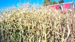 Starting To Harvest Heirloom Corn 15th Week #19 Heirloom Organic Vegetable Garden