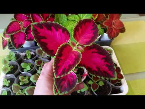 КОЛЕУС БЛЮМА (СЕЯНЦЫ) COLEUS BLUME (SEEDLINGS)