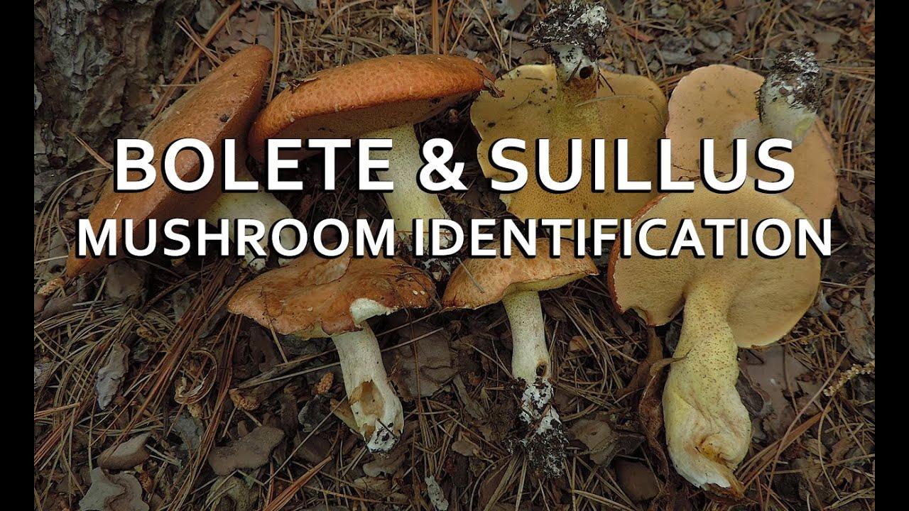hight resolution of bolete suillus mushroom identification with adam haritan
