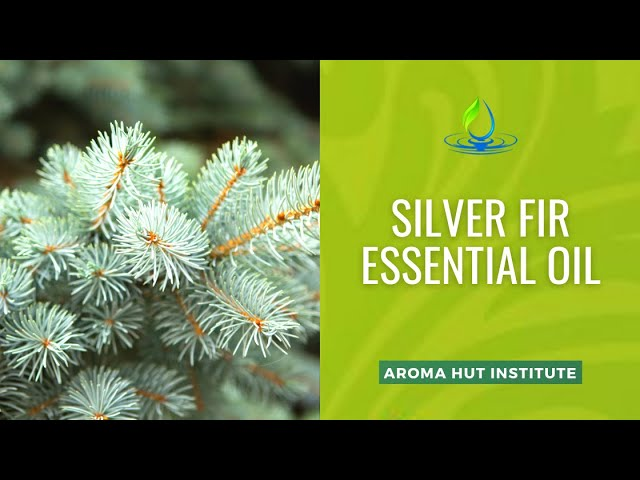 Silver Fir Essential Oil   Proven to Lower Cholesterol