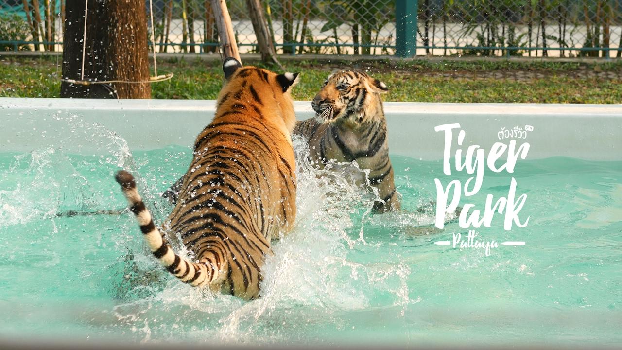 Tiger PARK Pattaya จิบกาแฟดูเสือ เล่นกับเสือแบบชิดใกล้ที่พัทยา - YouTube