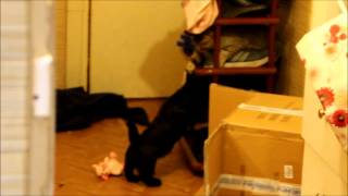 Скотч против кошки