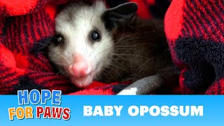 Baby opossum lost his family, so we found him a new family!
