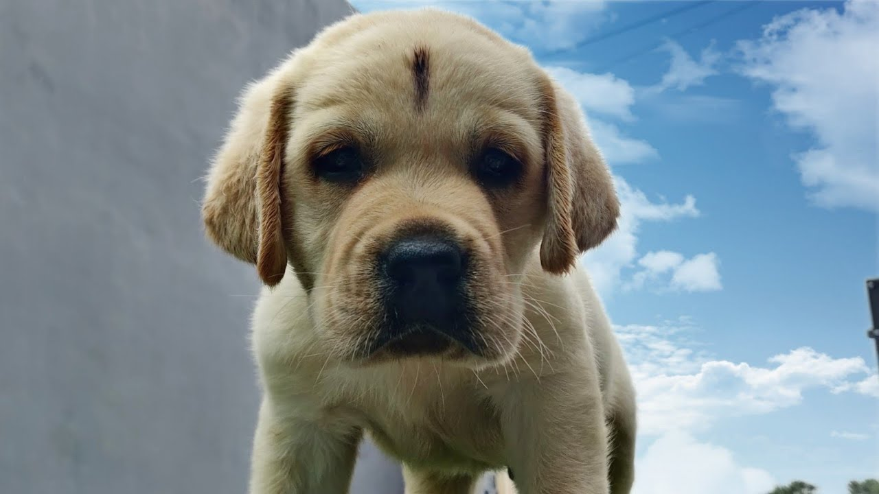English Labrador puppies for sale with KCI vaccination done 9728011133