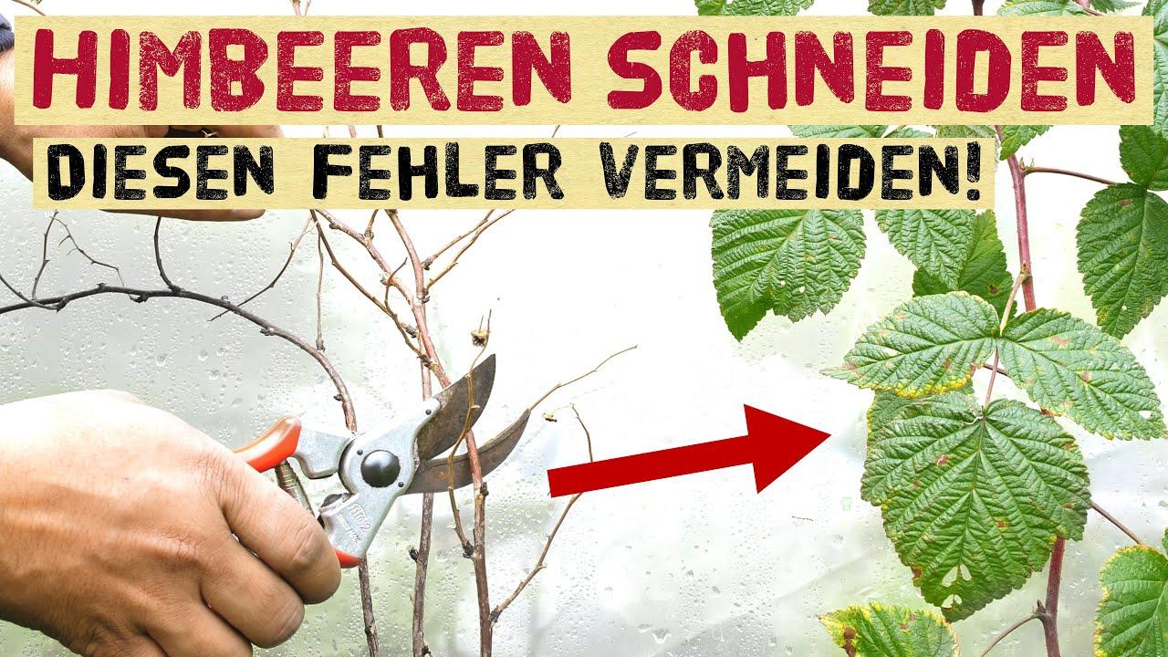 Download Himbeeren und Brombeeren im Herbst schneiden - einfache Anleitung für Sommer- und  Herbsthimbeeren