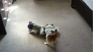 Moshi (the Japanese Chin) Vs. Sophi (the Shih Tzu) - Dogs Playing...