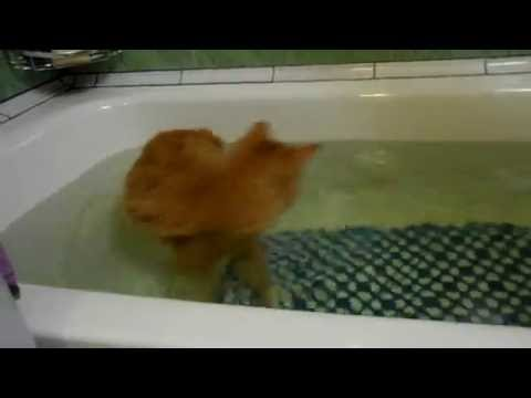 Курильский бобтейл принимает ванну (Kurilian Bobtail cat takes a bath)