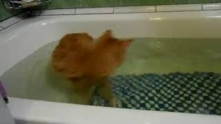 видео Курильский бобтейл (курбоб) – кошка с хвостиком-помпоном