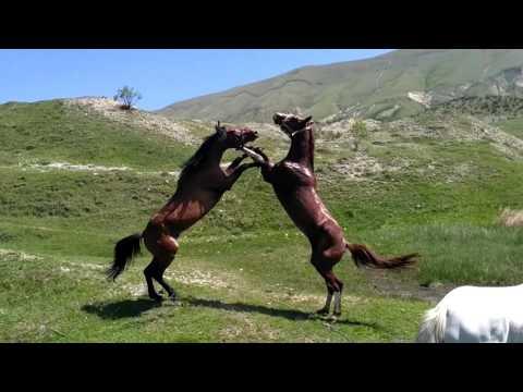 Как дерутся лошади