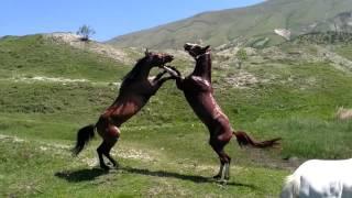 Драка лошадей 2