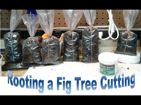 Rooting Propagating Fig Tree Cuttings: Bag Method