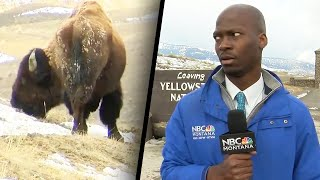 Reporter Bolts Because Bison Starts Staring at Him